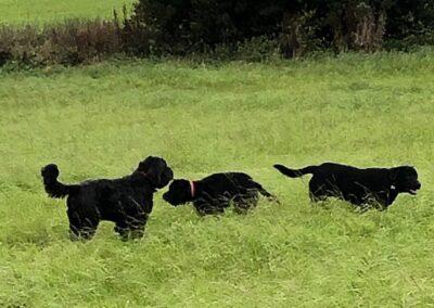 Posh Paws Petcare dog-walking-three-dogs